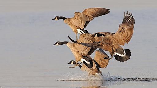 Flock of Geese.jpg