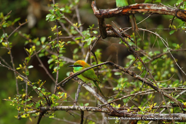 A Green Bee Eater in its natural surroundings