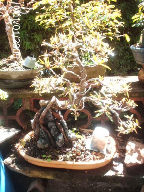 Ficus Nerifolia, Uma raiz de 3 anos... PICT1917