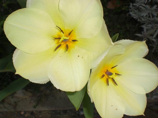 Le soluzioni alternative i miei primi tulipani for Soluzioni alternative al giardino