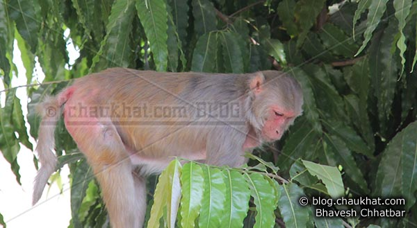 Monkeys of Jaipur - Terror on prowl