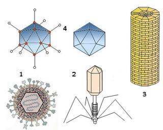 Variedad estructural de virus