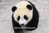 Chinese Panda Photo 7