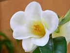 淡黄色 一重 ラッパ咲き 小輪