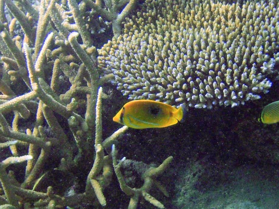 Chaetodon bennetti (Bennett Butterflyfish), Naigani Island, Fiji.