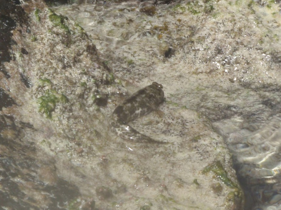 Periophthalmus sp. (Mud-Skipper), Aitutaki.