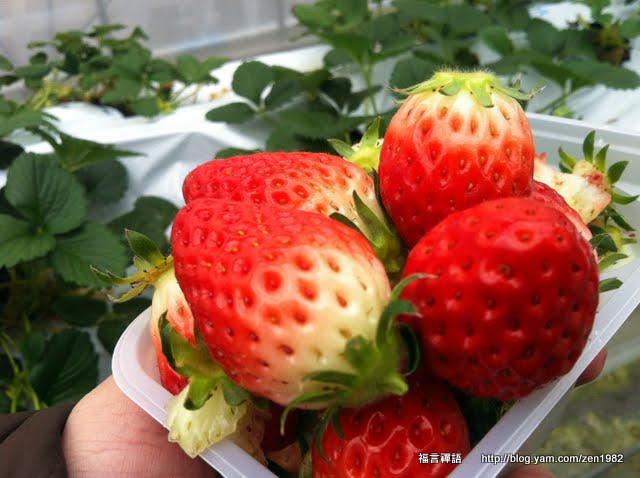長野縣諏訪湖草莓園 摘草莓