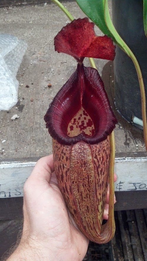 Nepenthes talangensis x robcantleyi