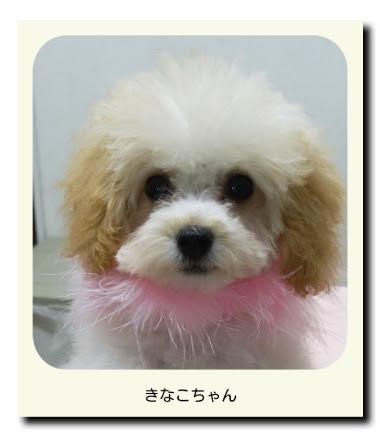 トイプードル(パピー・子犬)のきなこちゃん