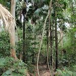Rainforest in Strickland (192290)
