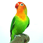 papagal Vreau papagal