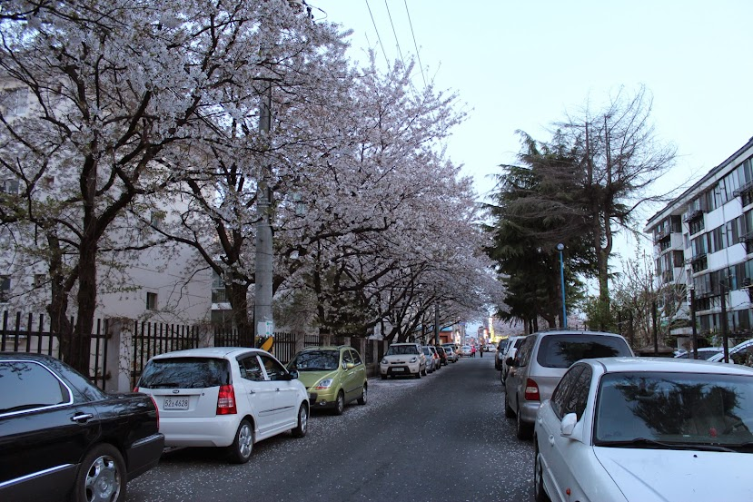 Gyeongju Cherry Blossoms in Seonggeondong