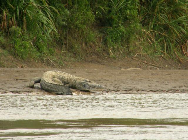 Questões e Fatos sobre Crocodilianos gigantes: Transferência de debate da comunidade Conflitos Selvagens.  - Página 3 39416850