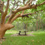 A Picnic table and tree near the Awabakal Nature Reserve (391718)