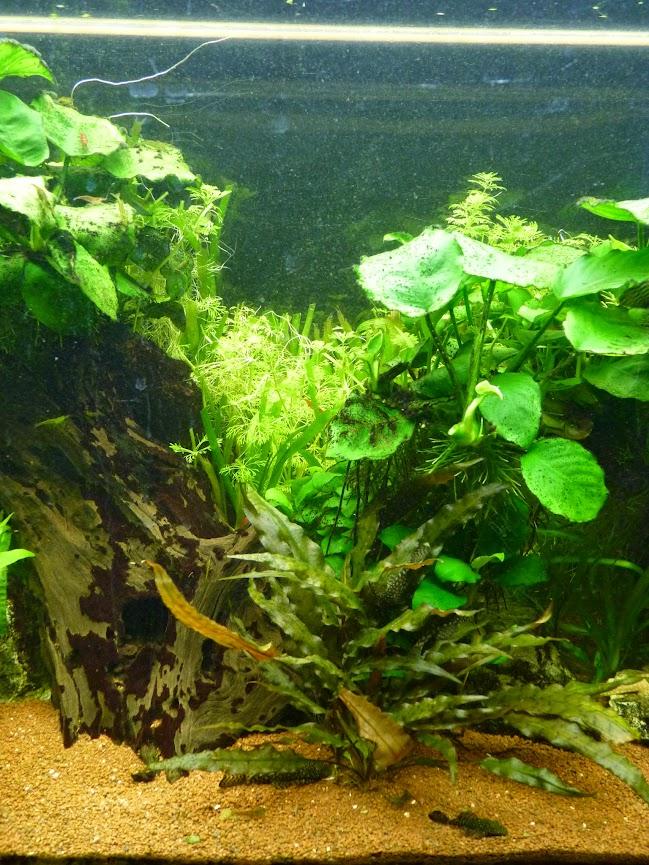 Ma petit histoire Aquariophile de 2009 à aujourd'hui  P1070006