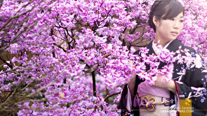 Cherry Blossoms at Hakone's Fujiya Hotel