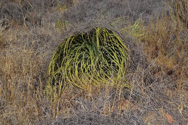 long leaved yucca curled on itself because of dead brush