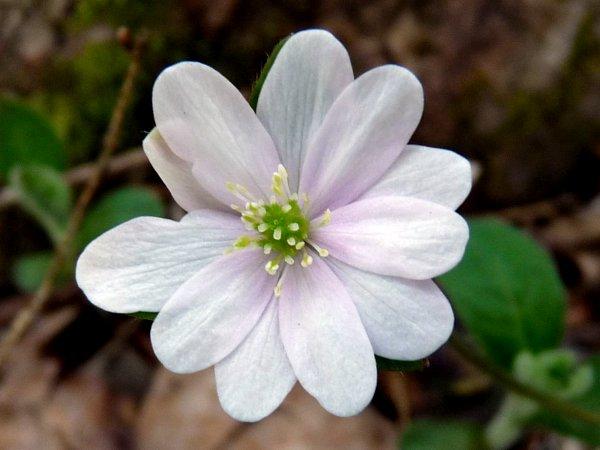 Wiseacre gardens blog archive woodland wildflowers in april hepatica flower mightylinksfo Gallery
