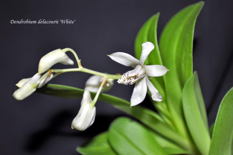 Dendrobium delacourii 'White' DSC_0021