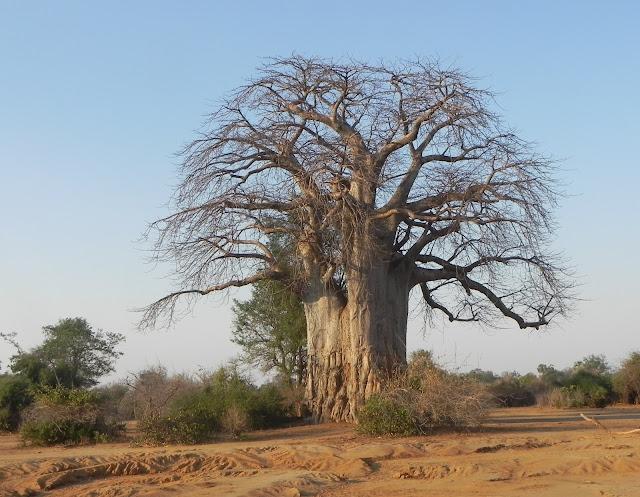 أفضل ما في أفريقيا  Best of Africa Baobab%252520%252520Tree