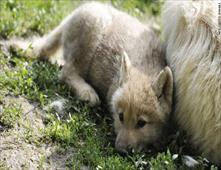 ذئاب تقتل حارستها بأكبر حديقة حيوان بالسويد