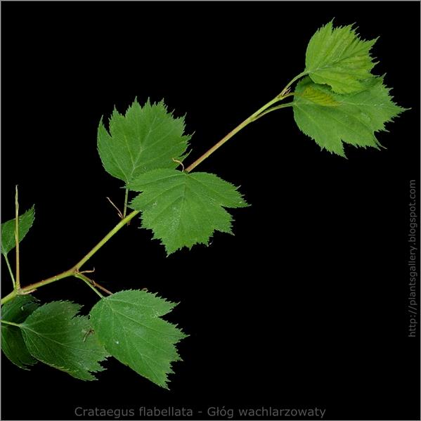 Crataegus flabellata - Głóg wachlarzowaty młody przyrost
