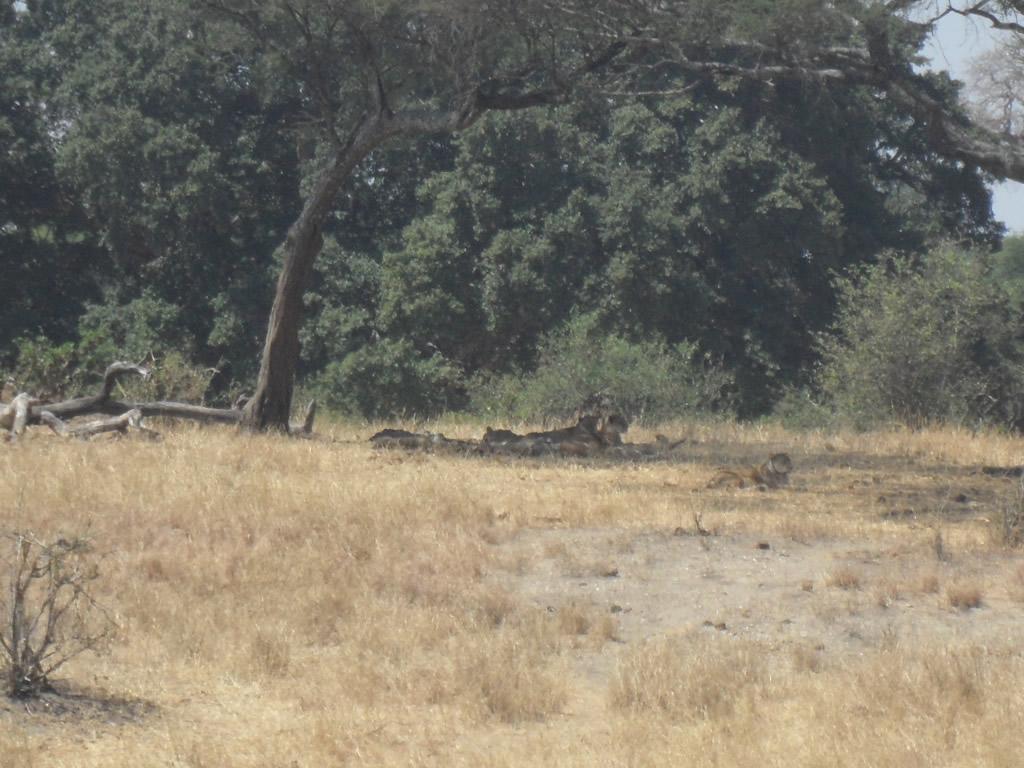 Tarangire ile uyumlu aslanlar