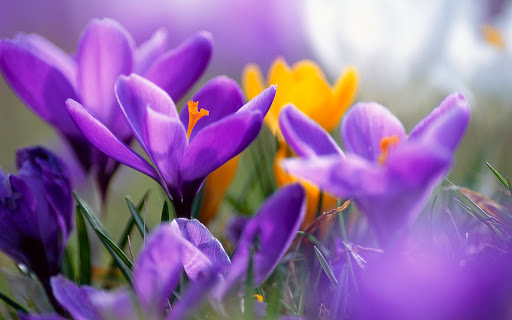 Purple Crocuses Flower