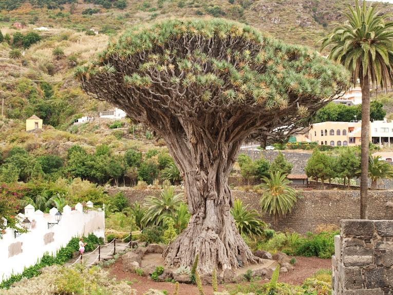 icod de los vinos tenerife dragon tree