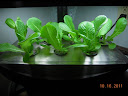 3 week Little Caesar romaine - could eat some leaves off bigger plants, but better to wait another week