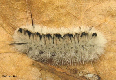 Hickory Tussock Caterpillar