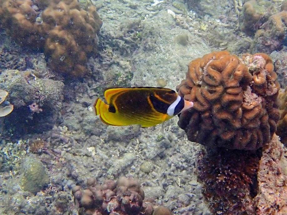 Chaetodon lunula (Raccoon Butterflyfish), Miniloc Island Resort reef, Palawan, Philippines.