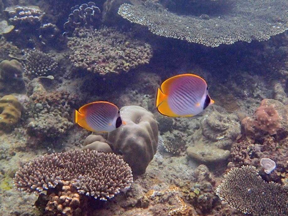 Chaetodon adiergastos (Philippine Panda Butterflyfish), El Nido, Palawan, Philippines.