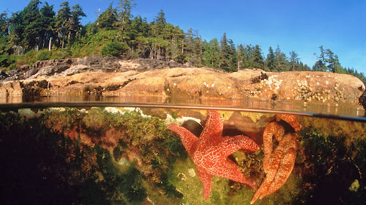 Starfish in a Tide Pool, Canada.jpg