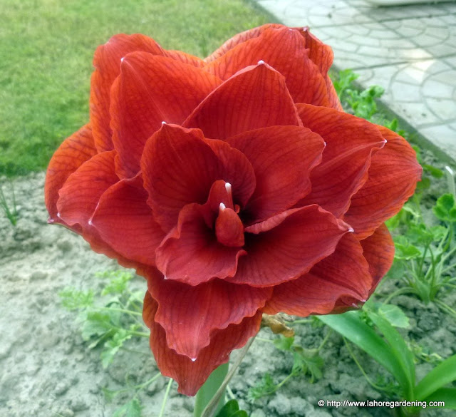 amaryllis hippeastrum double red