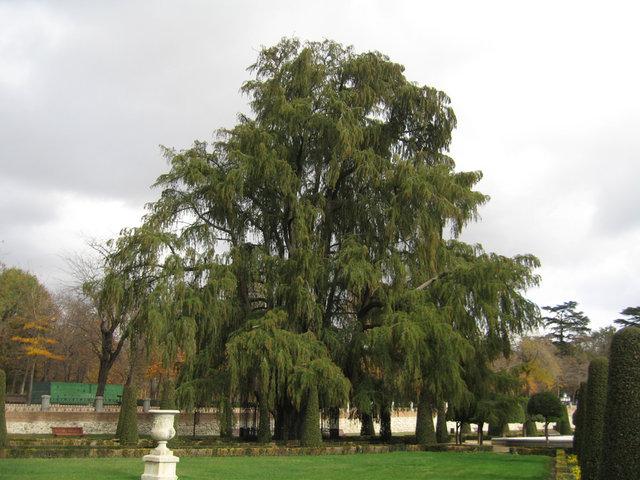 Le plus vieux arbre de Madrid
