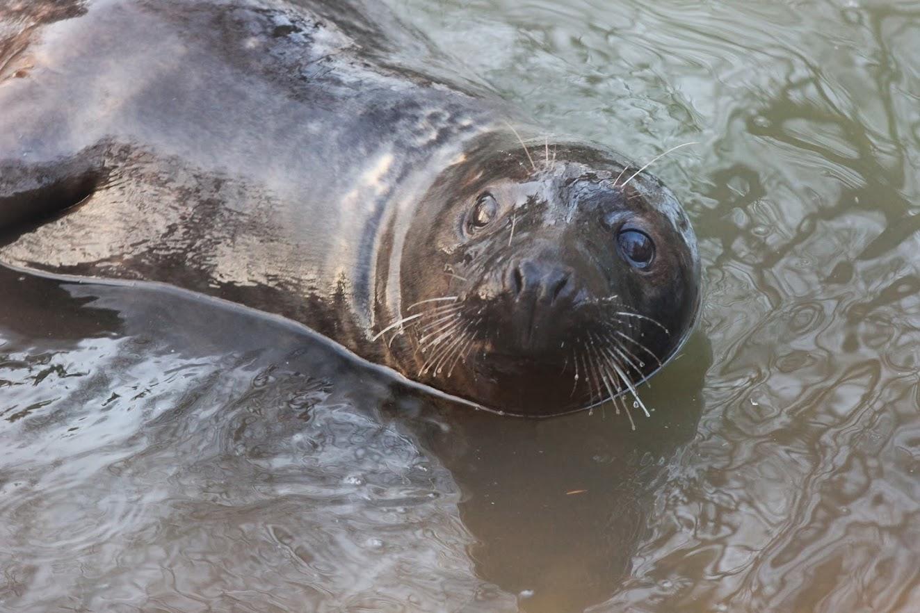 Балтийский серый (длинномордый) тюлень
