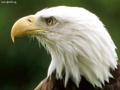 Aquila reale del Montana