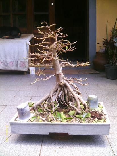 Ficus Microcarpa var. Indica... - Página 2 IMAG0298