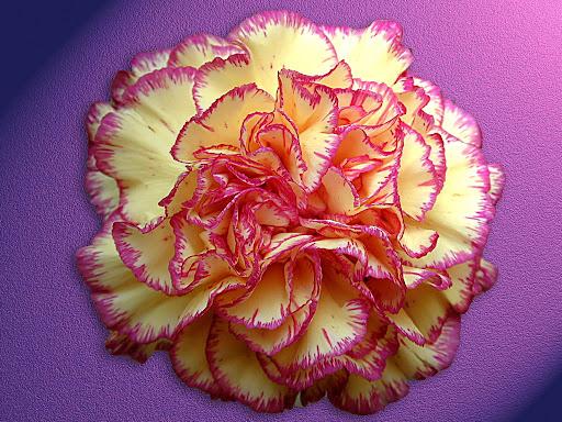 Rose_wallpaper.jpg