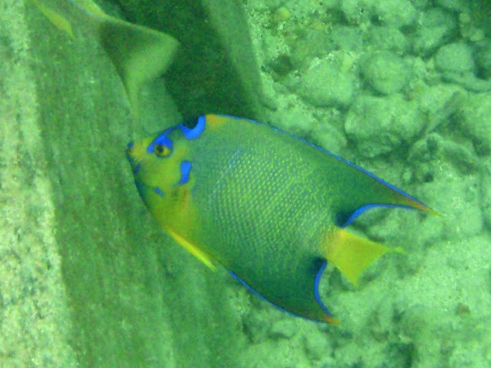 Holacanthus ciliaris (Queen Angelfish) at the peir of Tranquility Bay Resort.