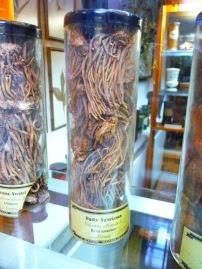 Kozłek lekarski nasiona Valeriana officinalis surowiec