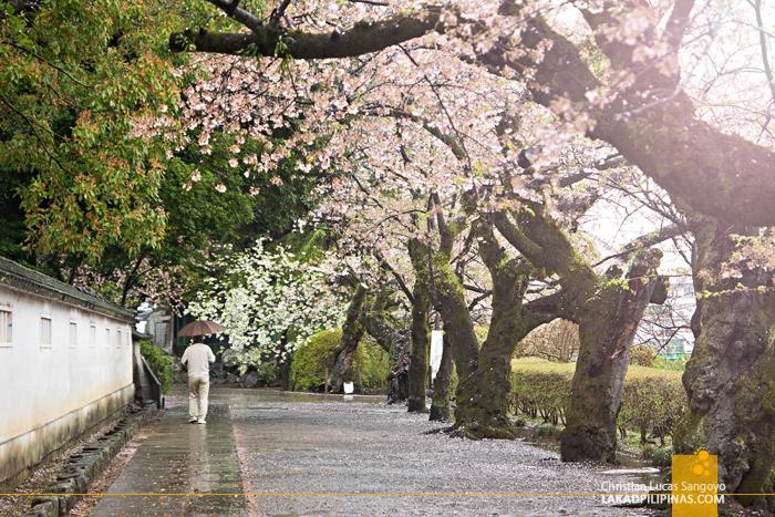 Cherry Blossoms at Kanagawa's Odawara Castle