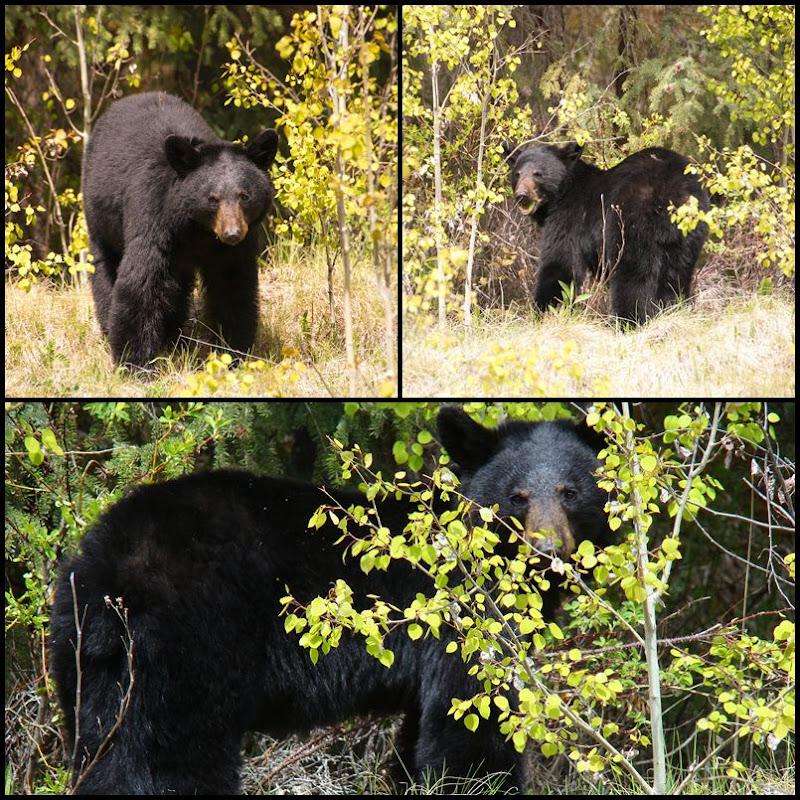 amerikanischer Schwarzbär Jalsper Nationalpark