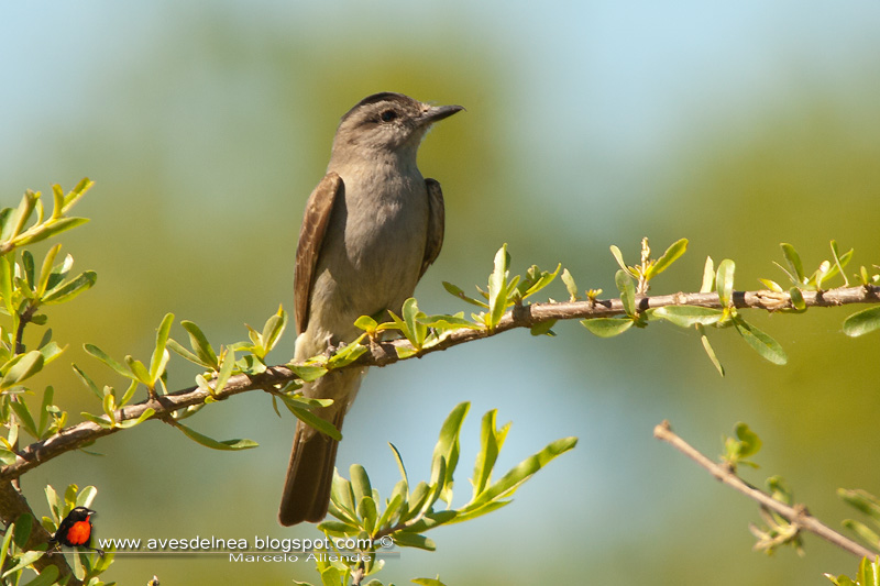 Tuquito gris (Crowned-slaty Flycatcher)