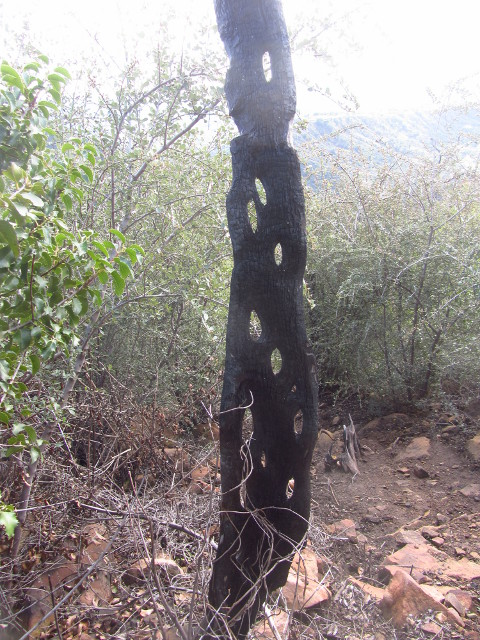 trunk that has burned, leaving the harder outside on one side and removing the knots