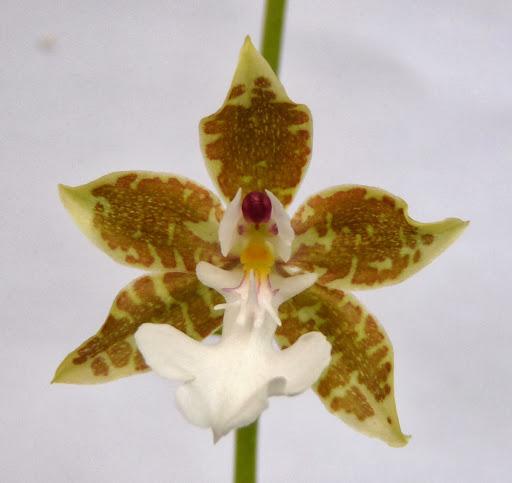 Oncidium leucochilum P1370219