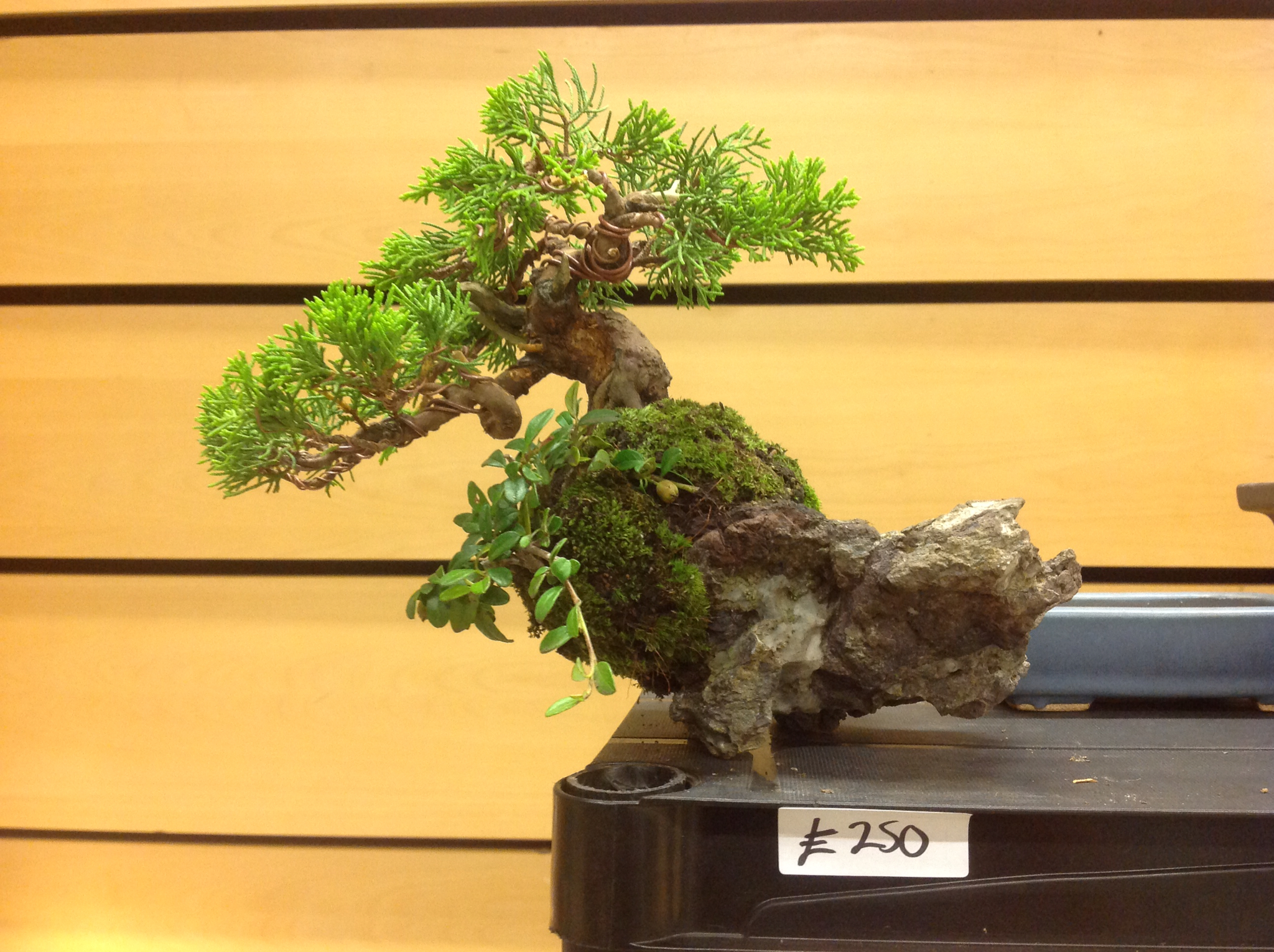 Saruyama Blog Bonsai World Live