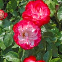 The Top Ten Roses for California Gardens