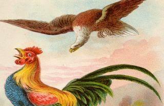 El gavilan y el gallo